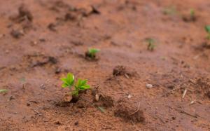 Nasséré - Plant d'arachide ©FDLH